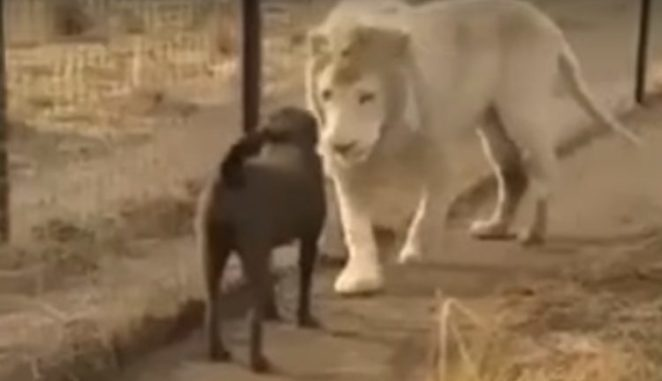 Лев с хорошими манерами: новое вирусное видео, которое стоит посмотреть
