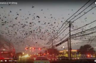 По Хичкоку: нашествие птиц в Техасе