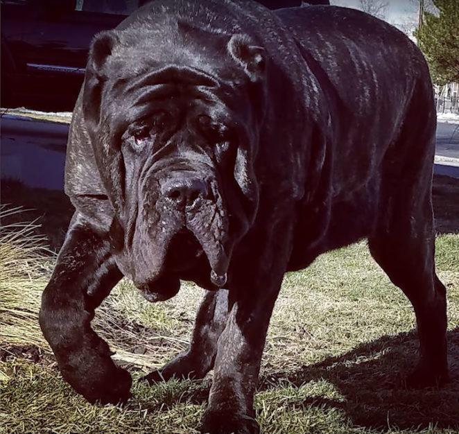 9-месячный щенок древней породы весит 80 килограммов и одним хвостом валит взрослого человека с ног