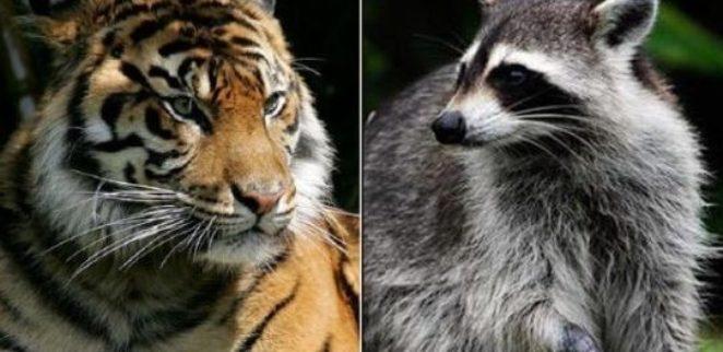 На улице Нью-Йорка заметили тигра, но полиция показала, что за хищника приняли енотика